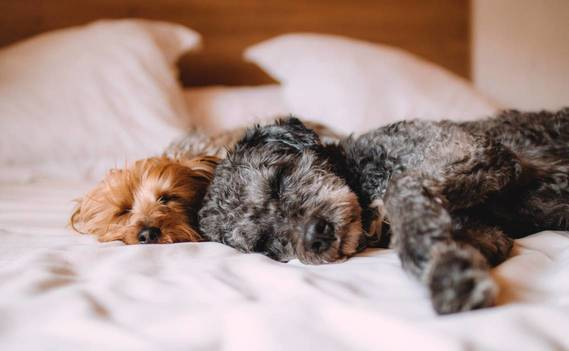 Normal_bed-animal-dog-dogs-57627
